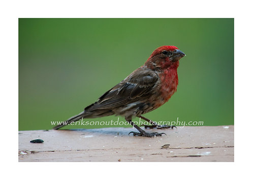 Purple Finch, Cards and Prints