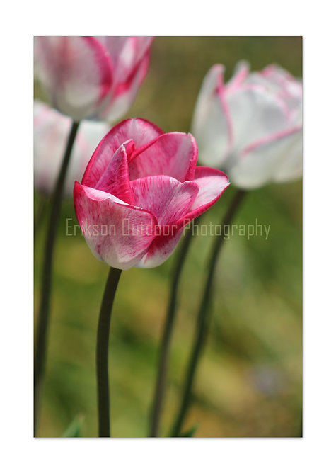 Pink & White Tulip, Cards and Prints