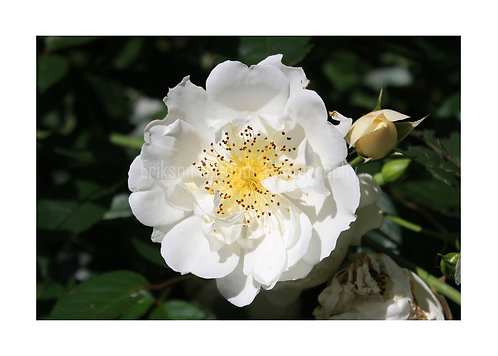 White Rose, Cards and Prints
