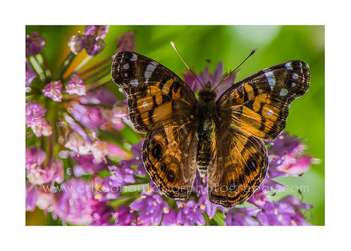 American Lady Butterfly on Millenium Allium, Cards and Prints