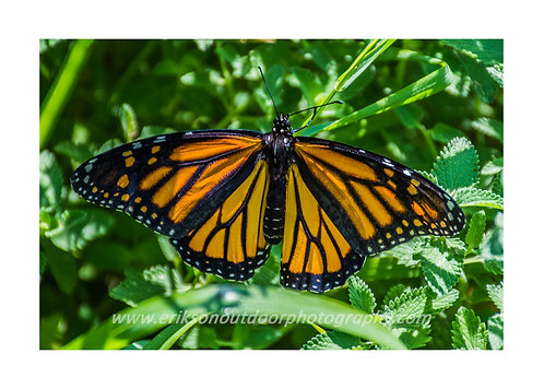 Monarch Butterfly, Cards and Prints