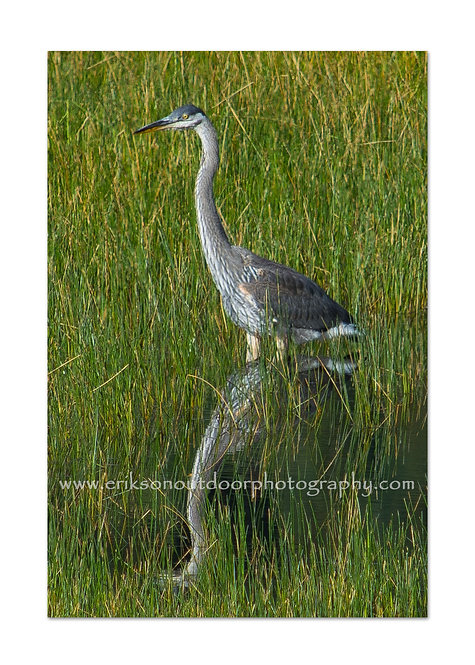 Great Blue Heron, Rocky Mountain National Park CO, Cards and Prints