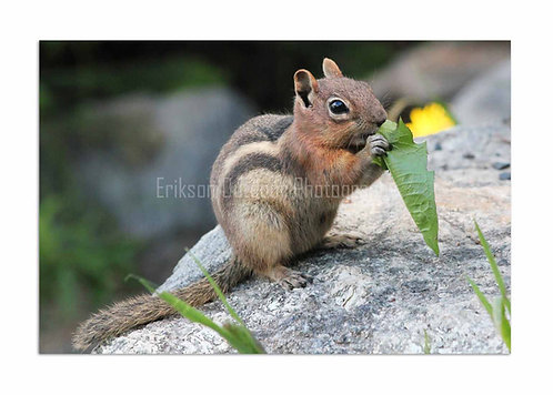 Rocky Mountain Ground Squirrel, Cards and Prints