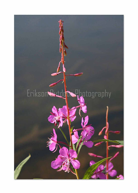 Fireweed, Cards and Prints