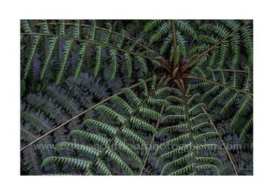 PCDE-0312-Ferns#2-ps.jpg