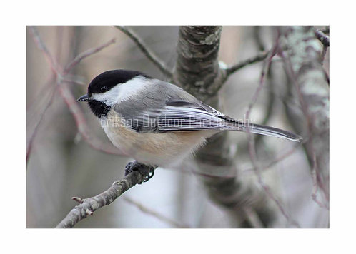 Black-capped Chickadee, Cards and Prints