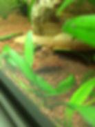 Aquarium Krebse - Garnelenaquarium CPO Zwergkrebse