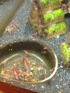 Garnelenfutter - Red Fire Garnelen beim Fressen aus einer eigenen Futterschale