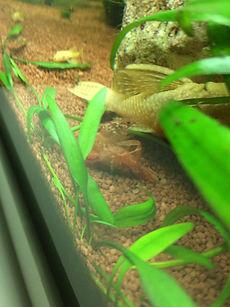 Aquarium Krebse - Miniaquarium - Garnelenaquarium CPO Zwergkrebse