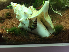 Garnelenaquarium mit Raubturmdeckelschnecken