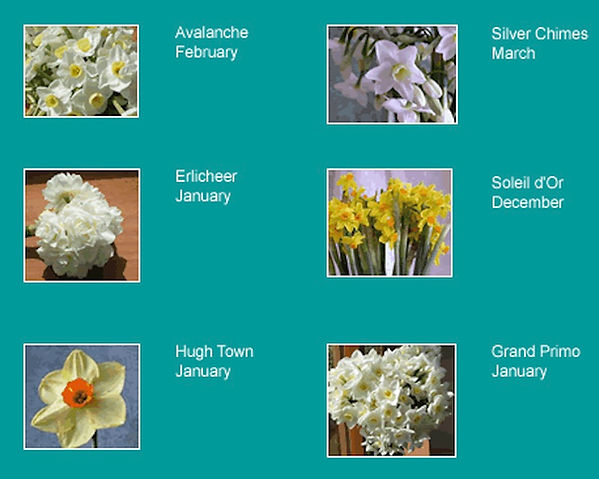 Narcissi Varieties.jpg