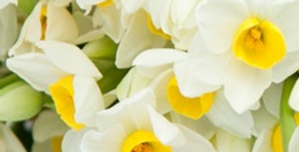 Scented Narcissi Bulbs - Island Pride