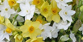 Scented Narcissi Bulbs - Mixed