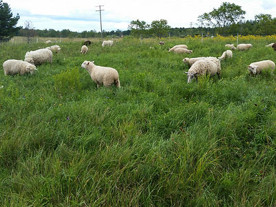 Big fire and fibre sheep for sale 211.jp