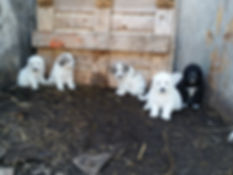 Sept 17 puppies 014.jpg