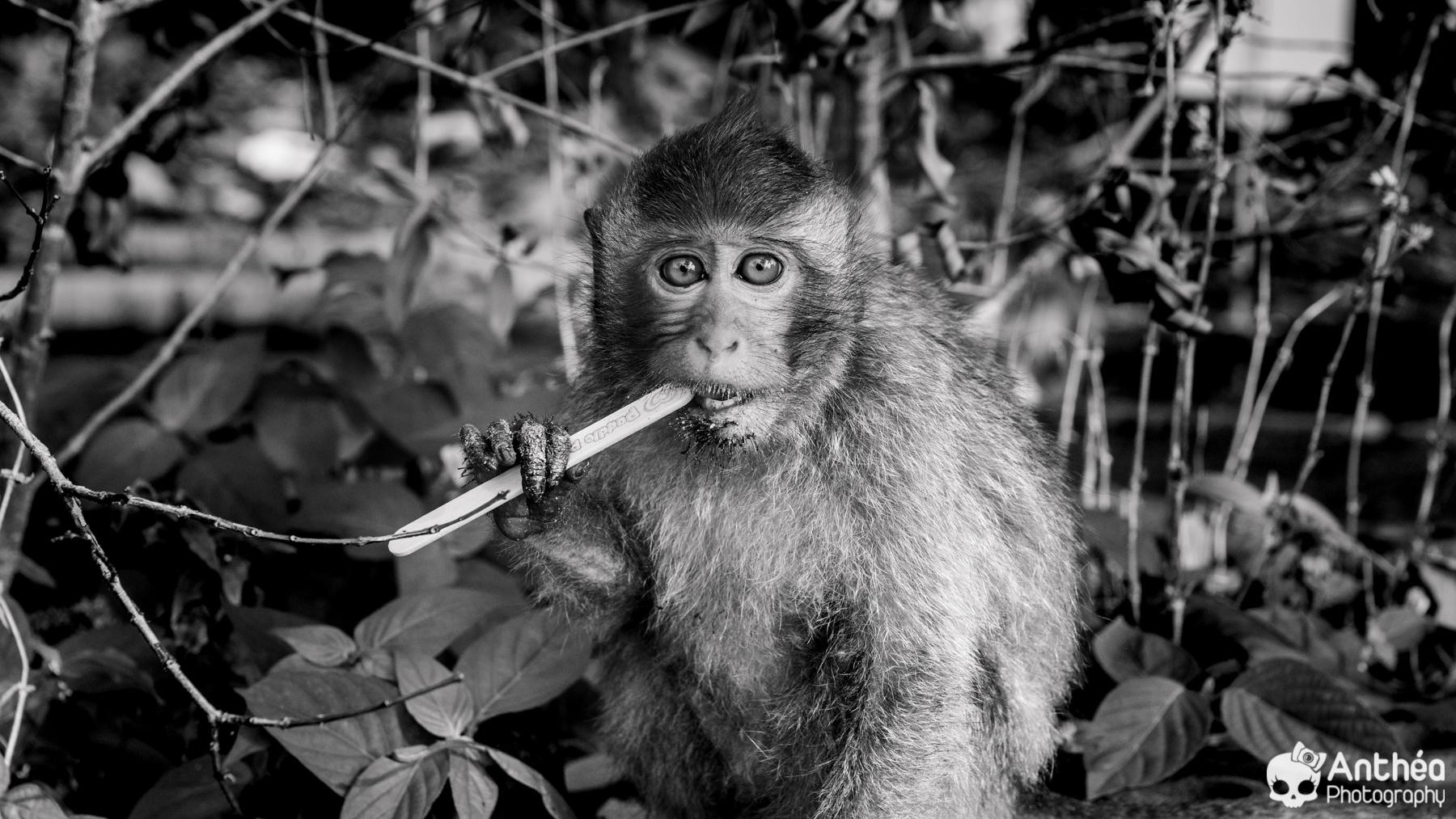 Thaïlande - Thailand - Singes - Monkey