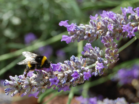 Lavender - the best for amorous healings.