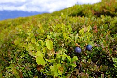 blueberries-3632707_1920.jpg