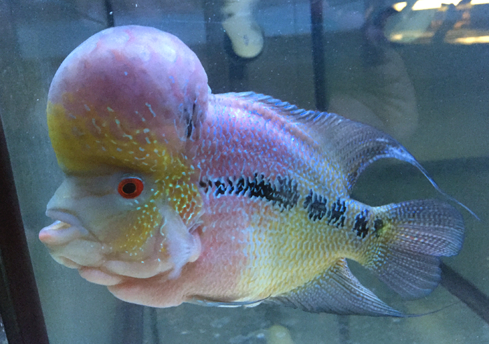 Flowerhorn for sale in Philadelphia