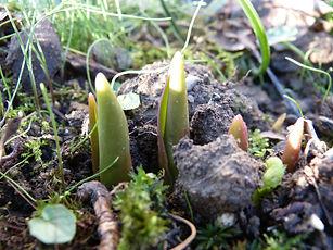 Tulpen Frühling