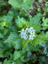Knoblauchsrauke Blüte