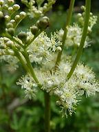 Mädesüß Blüte