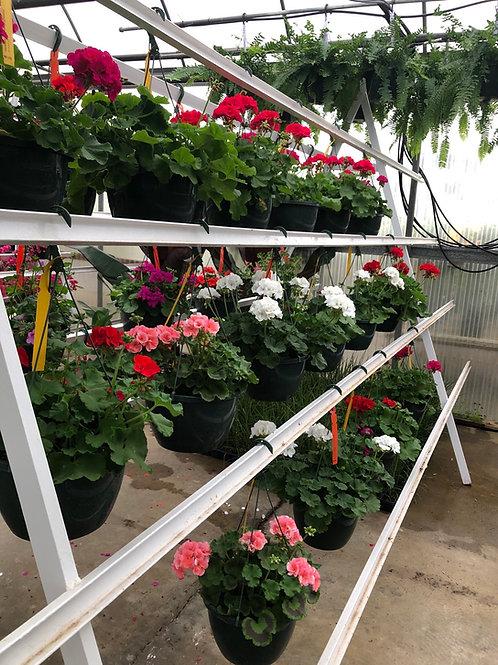 Zonal Geranium Hanging Basket