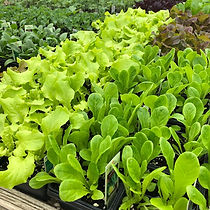 Vegetables, lettuce flats
