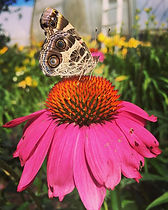 Butterfly, moth, echinacea