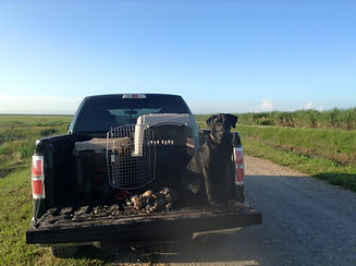 Duck dog teal hunting
