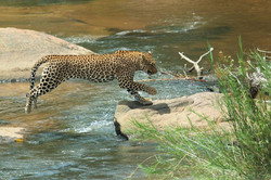 Leopard knp