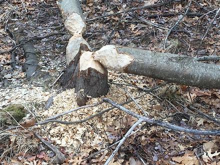 A Beaver's Work.JPG