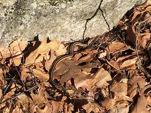 Baby Garter snake.JPG