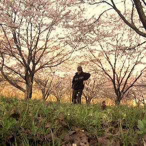 三面川 Sakura