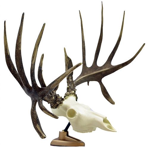 BIG RACK Whitetail Deer Skull and Non-Typical Antl