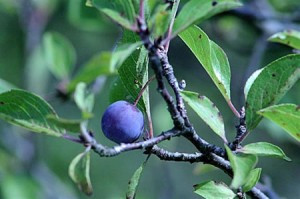 Wild Beach Plum (photo courtesy of Josephine's Feast)
