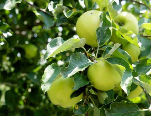 Stone Barns apples
