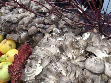 Maitake Memories: Giant Mushrooms from Violet Hill Farm