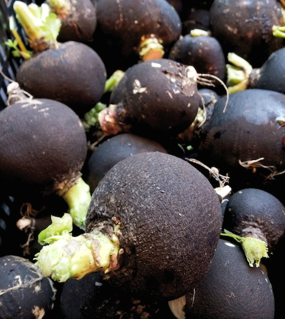 Black Radishes - One Tough Vegetable