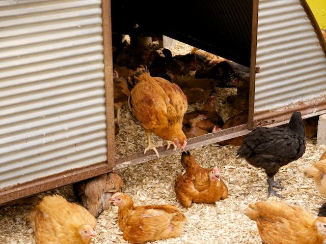 Stone Barns Farm Free Range Chickens