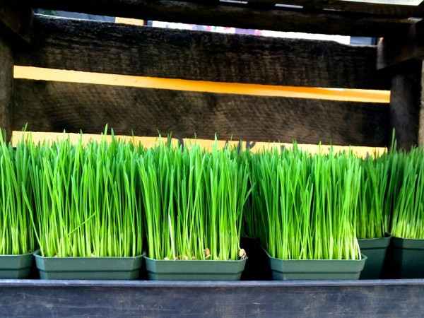 Flats of beautiful wheatgrass from The Union Square Grassman