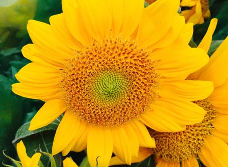 Late Summer Market Picks: Summery Sunflowers Are Here