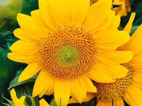 Late Summer Market Picks: Summery Sunflowers Are Here