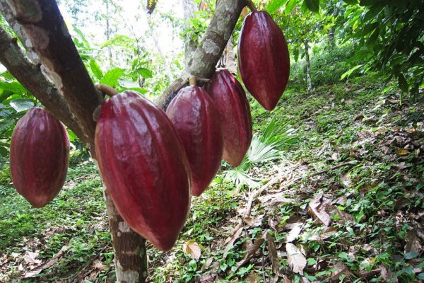 Cacao Pods: This is how chocolate is born (photo courtesy of Moho Chocolate)