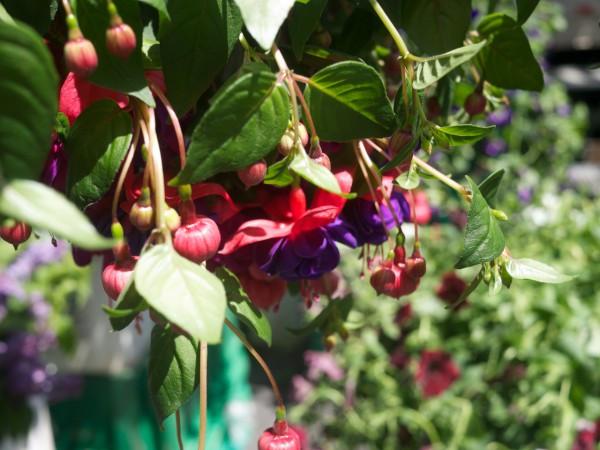 Lovely Fuchsia