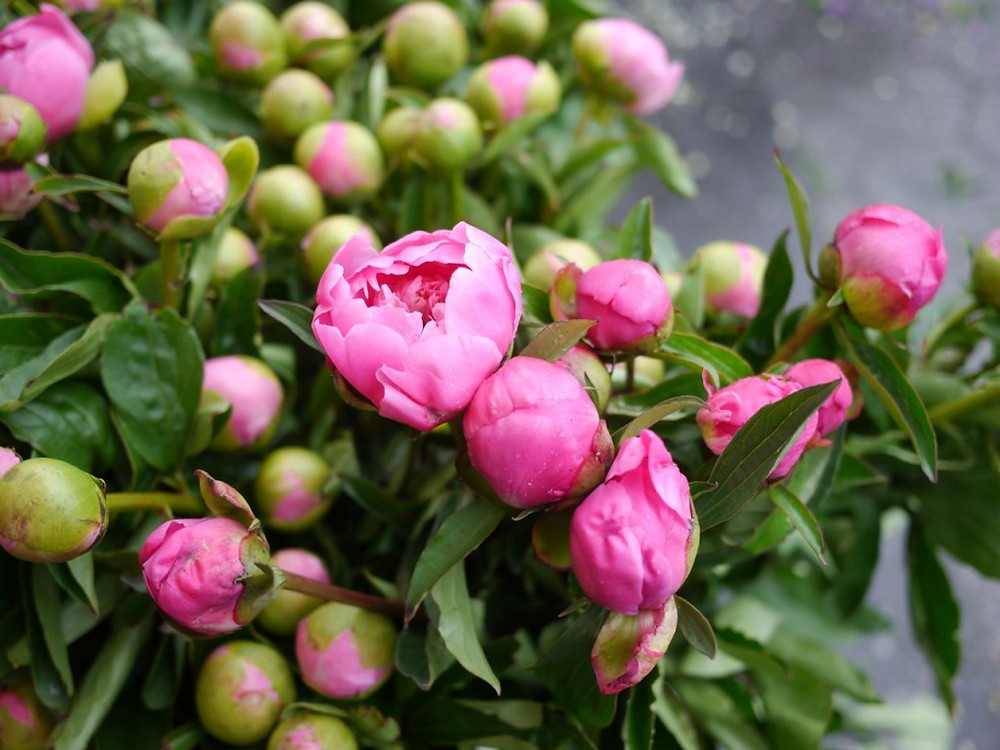 Opening Peonies from James Durr Farm at Union Square Greenmarket