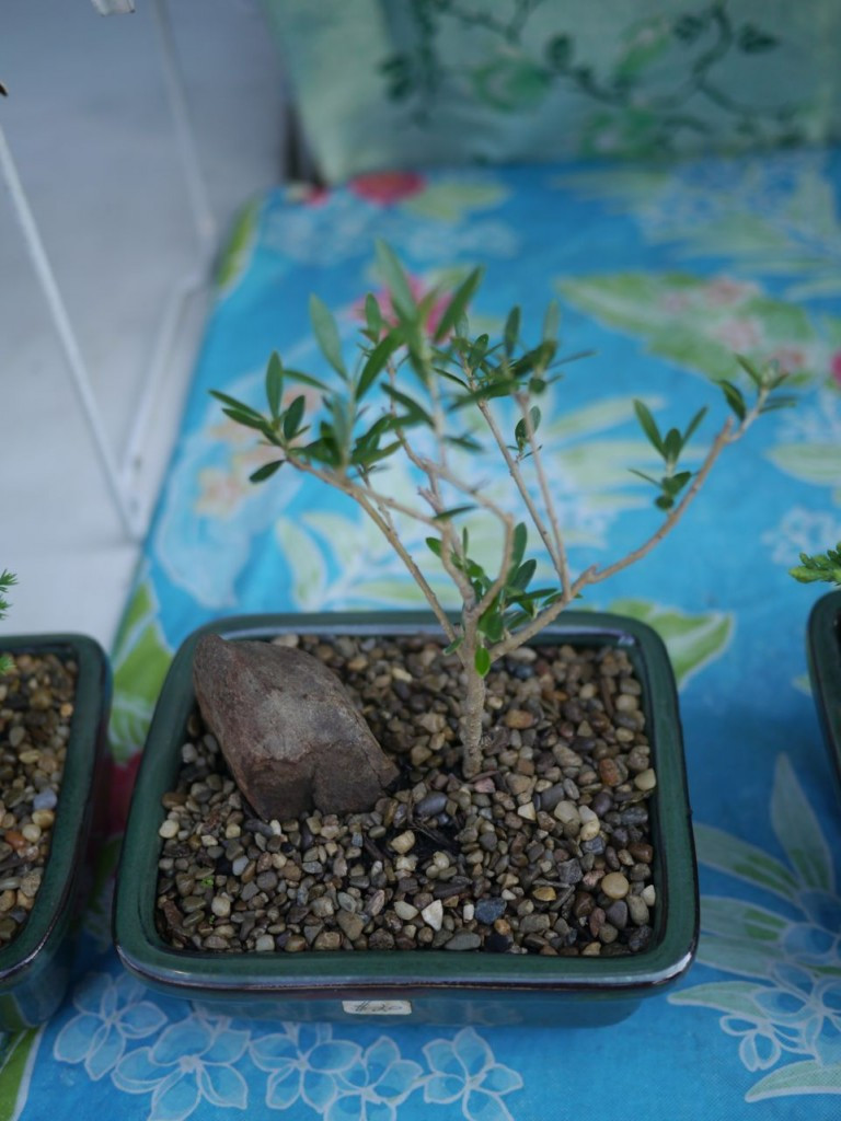 I brought home this tiny olive tree for James. Ray assures me it will produce real olives within a year!
