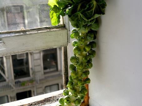 Weekend Market Picks November 22 & 23, 2014: Brussels Sprouts 2015