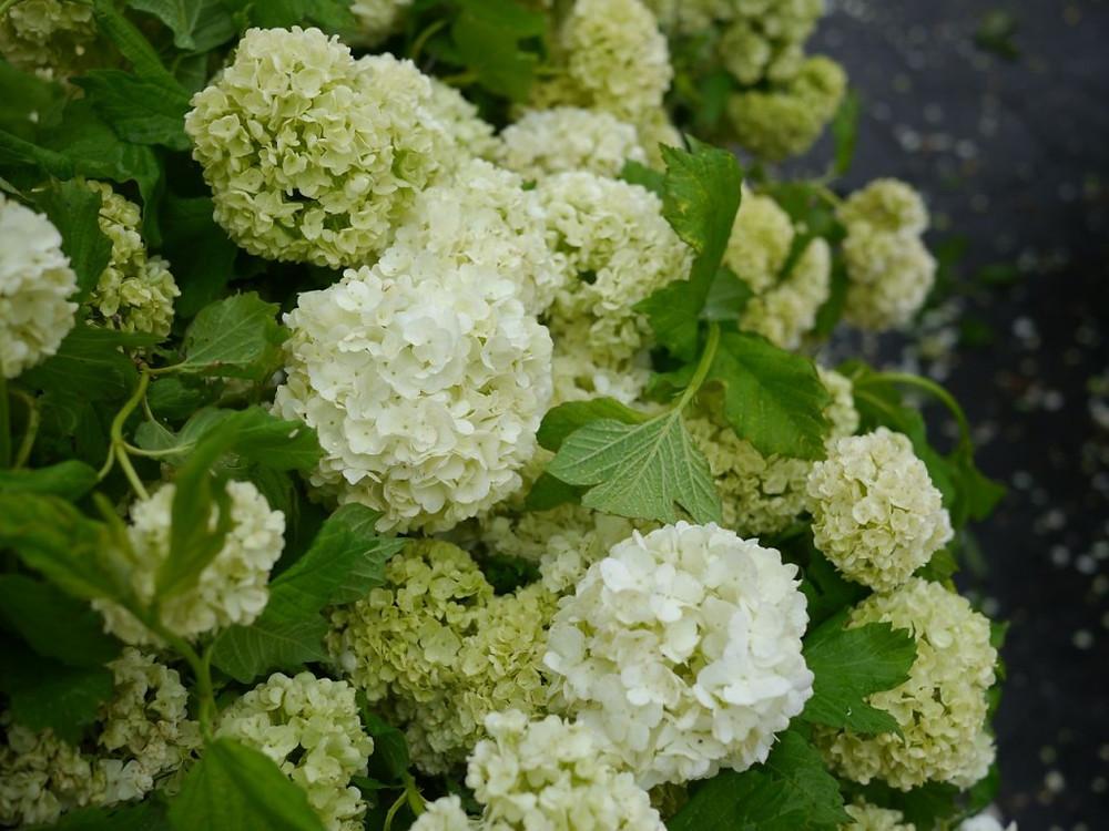 Soft Green Viburnum from James Durr Farm at Union Square Greenmarket