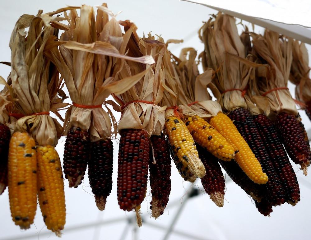 Indian Corn Caradonna Farms